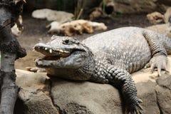 Крокодил, аллигатор, дикое животное, природа стоковая фотография rf
