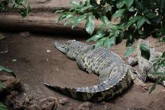 Крокодил, аллигатор, дикое животное, природа стоковое фото