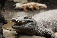 Крокодил, аллигатор, дикое животное, природа Стоковая Фотография