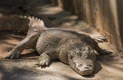 крокодил большой Стоковое Изображение