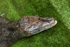 Крокодил вставил его голову из воды Стоковое Изображение