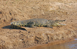 Крокодил в Ботсване стоковая фотография rf