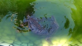 Крокодил в воде видеоматериал