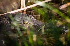 Крокодил в перепаде Okavango стоковые фото