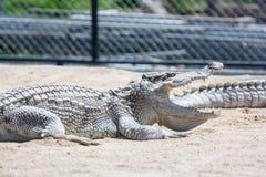 Крокодил в ферме Стоковое Фото