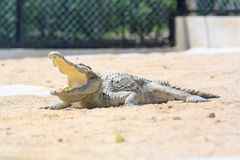 Крокодил в ферме Стоковые Изображения RF