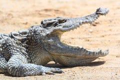 Крокодил в ферме Стоковое Изображение