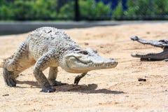 Крокодил в ферме Стоковые Фото