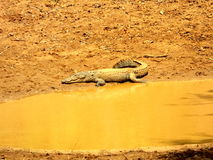 Крокодил в Шри-Ланке стоковые изображения