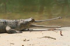 Крокодил Ганг Gavial Стоковая Фотография RF
