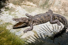 Крокодил греется на земле под тенью отверстия отверстия ладоней Ферма крокодила в Таиланде, на острове Пхукета Стоковое Фото