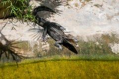 Крокодил греется на земле под тенью отверстия отверстия ладоней Ферма крокодила в Таиланде, на острове Пхукета Стоковые Изображения