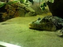 Крокодил, греясь на земле в зоопарке Москвы Стоковые Изображения RF