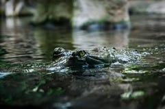 Крокодил Глаз ` s крокодила отражает в воде Крокодил большого Брайна и желтой лодкамиамфибии доисторический Стоковое Фото