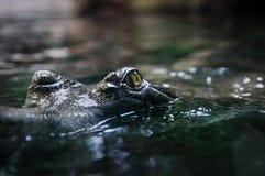 Крокодил Глаз ` s крокодила отражает в воде Крокодил большого Брайна и желтой лодкамиамфибии доисторический Стоковое фото RF
