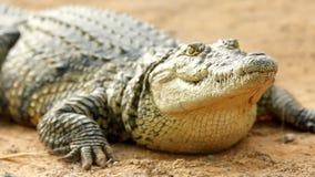 Крокодил лежа в конце-вверх солнца дышая и ждать видеоматериал