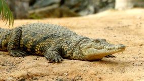 Крокодил лежа на том основании в фокусе пока второй крокодил крадется на заднем плане видеоматериал