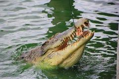 Крокодил ест цыпленка в Таиланде Стоковые Фото