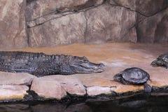 Крокодил карлика Стоковые Фотографии RF
