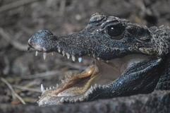 Крокодил карлика Стоковое фото RF