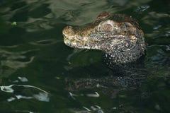 Крокодил карлика Стоковое Изображение RF