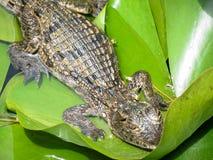 крокодил малый стоковые изображения rf