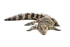 Крокодил на белом поле Стоковые Изображения RF