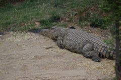 Крокодил на зоопарке Йоханнесбурга Стоковые Изображения