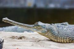 Крокодил на национальном парке Chitwan, Непал Gharial стоковые фото