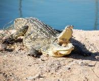 Крокодил на скалистом береге Стоковые Изображения RF