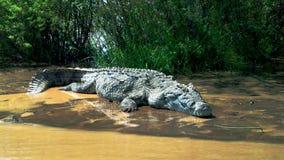 Крокодил Нила в озере Chamo, Эфиопии стоковые изображения