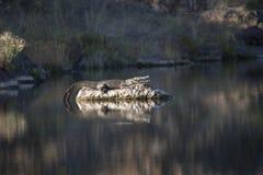 Крокодил Нила загорая на утесе Стоковая Фотография RF