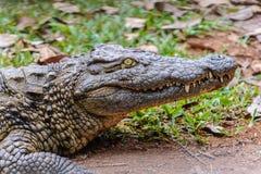 Крокодил Нил стоковые изображения