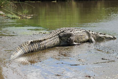 Крокодил Нил Стоковое Изображение RF