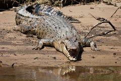 Крокодил ржавый Стоковое фото RF