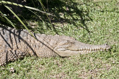 Крокодил свежей воды Стоковая Фотография