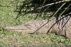 Крокодил свежей воды Стоковые Изображения