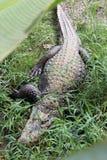 Крокодил сверху стоковая фотография rf