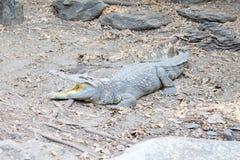 Крокодил соленой воды Стоковое Изображение