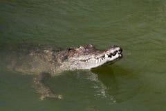 Крокодил соленой воды Стоковое фото RF