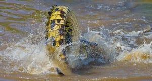 Крокодилы в реке Mara Кения Maasai Mara вышесказанного стоковое изображение