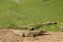 Крокодилы в slough Стоковое Изображение