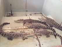 Крокодилы младенца Стоковые Фото