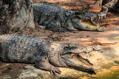 Крокодилы около пруда Стоковые Изображения