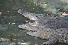 Крокодилы соленой воды Стоковая Фотография