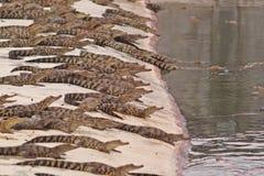 крокодилы Стоковое Изображение RF