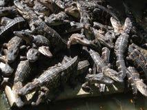 крокодилы Стоковое Изображение