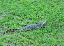 Крокодил. Стоковые Изображения RF