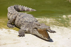 Крокодил Стоковые Изображения RF