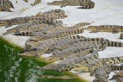 Крокодил, Стоковое фото RF